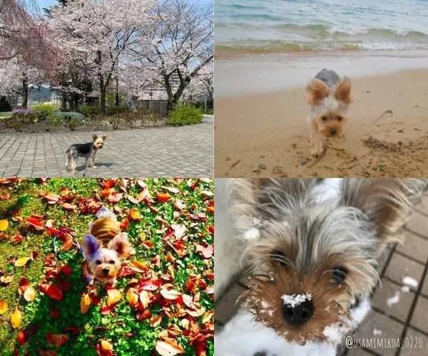 Japanese Yorkie - dog friendly Japan
