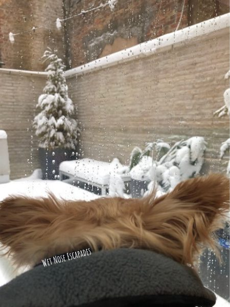 Yorkie Dog watching the snow in NYC, East Coast