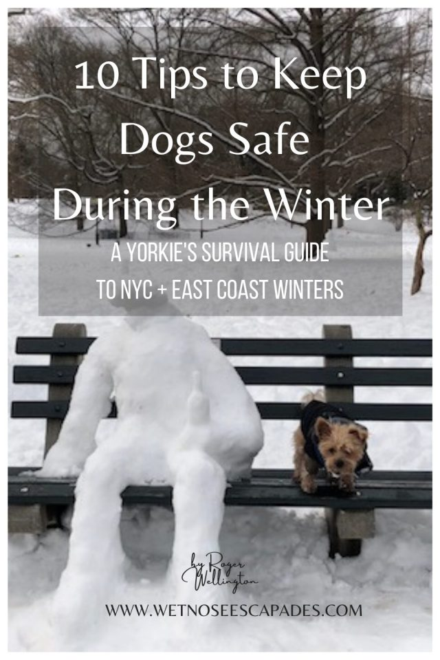 Yorkie dog surviving snow storms in nyc and east coast