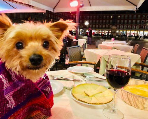 Yorkie Dog at Plaza Mayor in Madrid