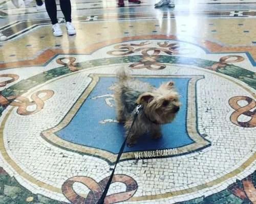 Yorkie dog at Milan spinning bull - Galleria Vittorio Emanuele II