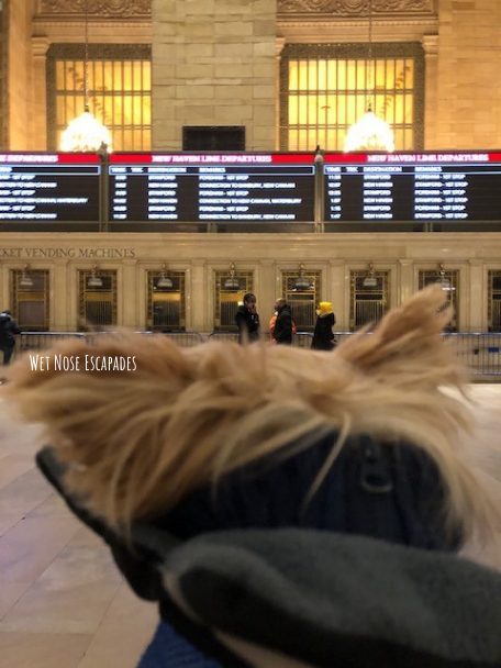 Yorkie Dog at Grand Central NYC, Metro North to Connecticut