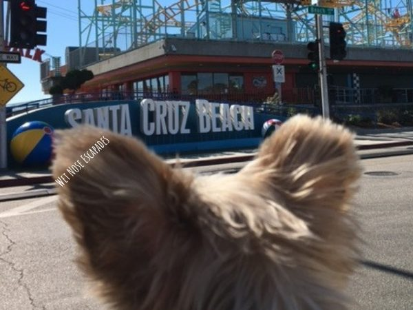 Yorkie Dog at Santa Cruz, CA