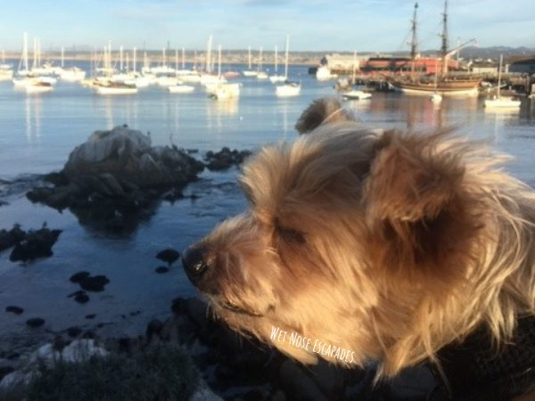 Yorkie Dog in Monterey California: 10 Dog-Friendly Day Trips in Northern California