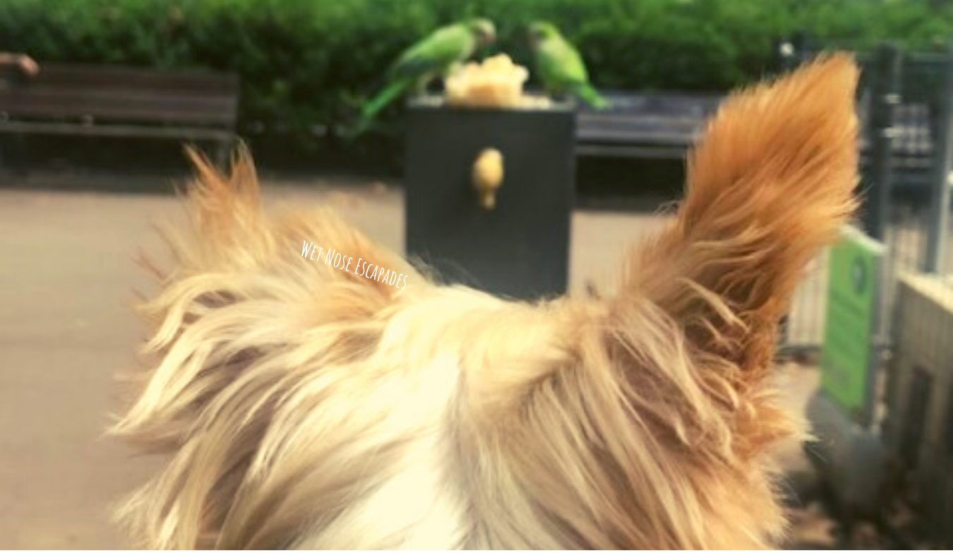 Yorkie Dog watching green parrots in Barcelona