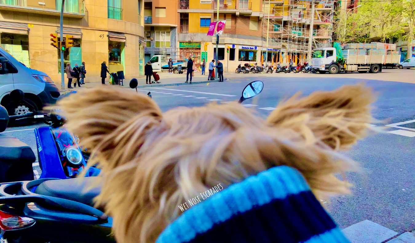 Yorkie Dog in dog-friendly Barcelona