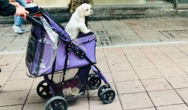 Dog in Stroller in Taipei, Taiwan