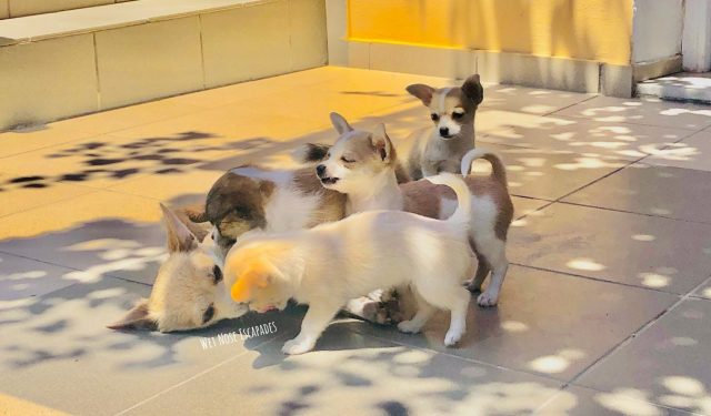 A litter of chihuahua puppies, why people should not breed dogs