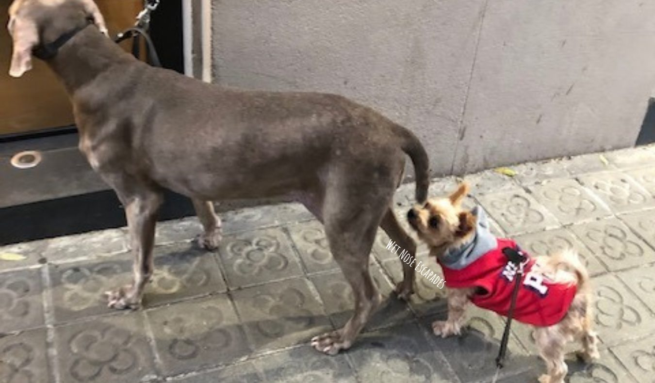Yorkie sniffing a Weimaraner, why you should let your dog sniff longer