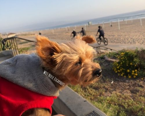 Yorkie dog at Manhattan Beach, CA
