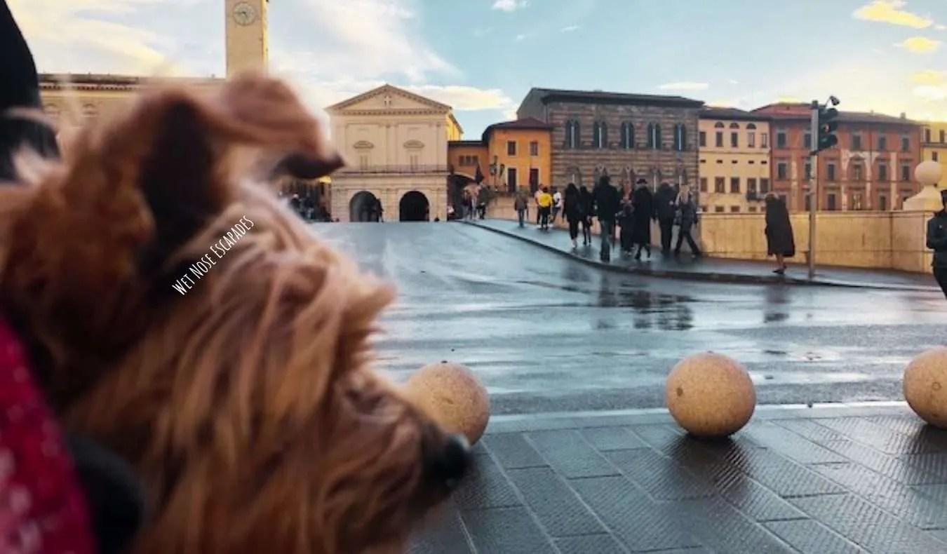 Yorkie Dog at Ponte di Mezzo in Pisa