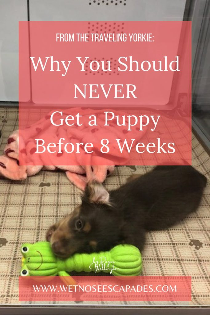 8 Reasons Why You Should Never Get a Puppy under 8 Weeks