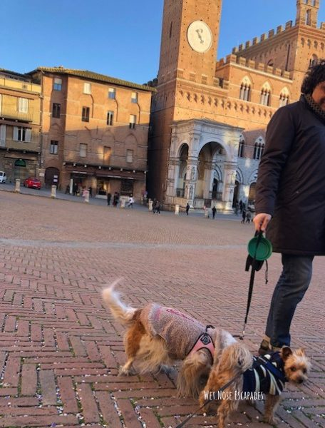 yorkie dog travels to Siena, Italy -Piazza del Campo