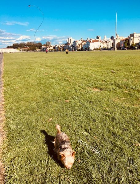 Yorkie Dog at Marina Green, San Francisco