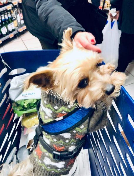 Yorkie dog shopping for food in florence, italy