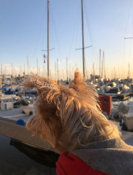 Yorkie dog at the marina in redondo beach