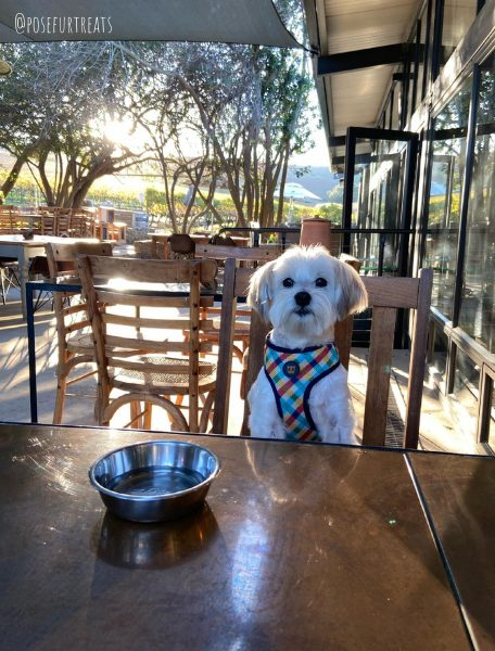 Dog-Friendly Cape Town: Maltese Dog dining out a dog-friendly restaurant