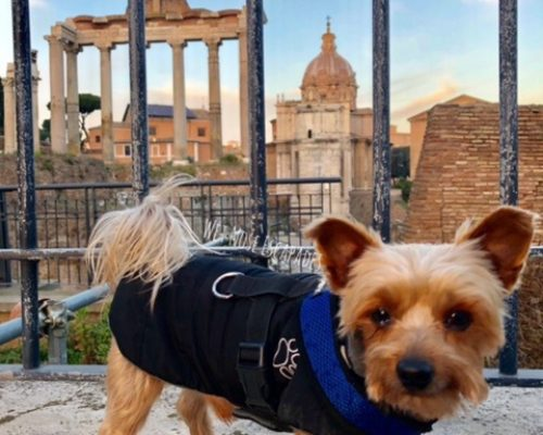 Yorkie dog at the Forum in Rome, Italy