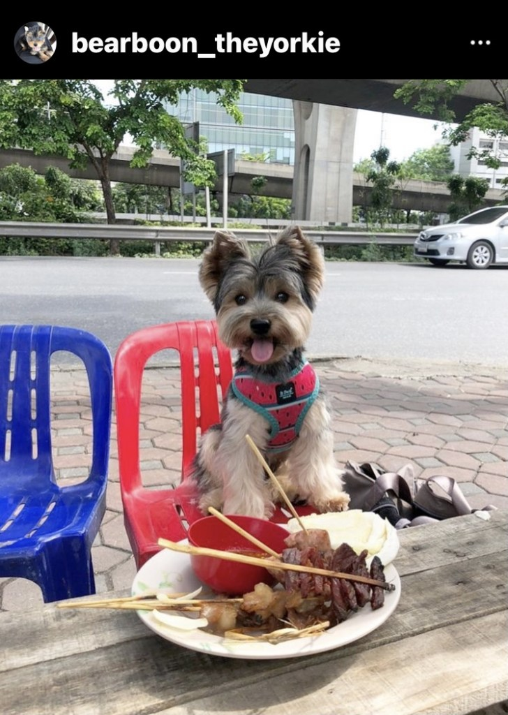 Dog-Friendly Bangkok: An Interview with Bear the Thai Yorkie