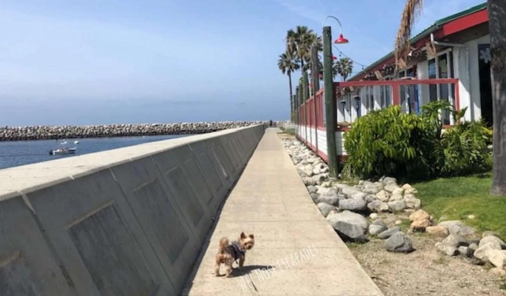 Yorkie dog at redondo beach california
