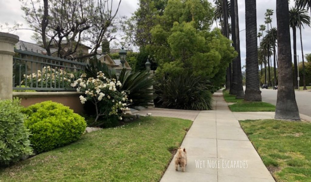 Yorkie dog in dog-friendly beverly hills, ca