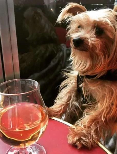 Yorkie dog in dog friendly cafe Le Marais, Paris
