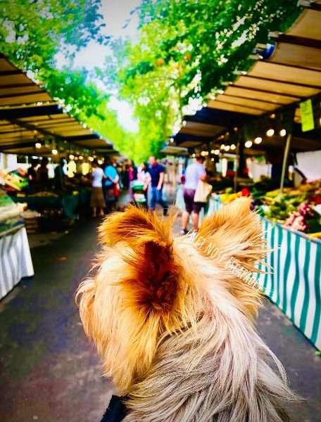 Yorkie dog shopping in Paris