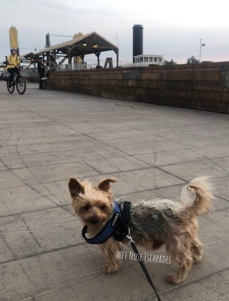 yorkie dog at old sac waterfront