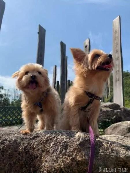 yorkies at dog friendly lamma island, hong kong