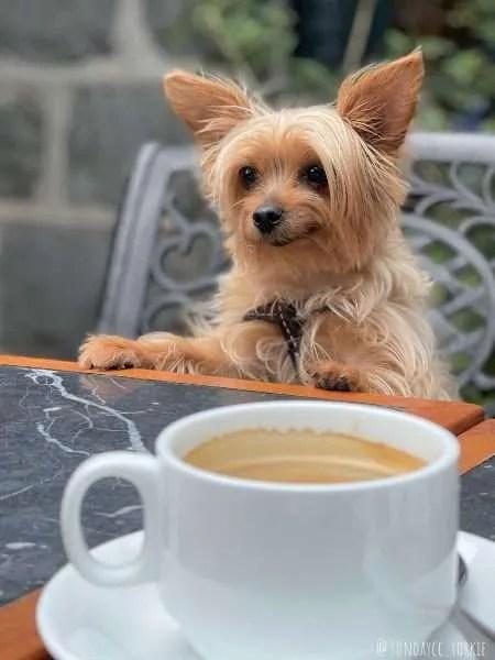 yorkie dog at victoria peak having coffee