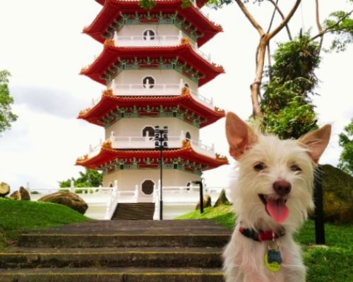Dog-Friendly Singapore: An Interview with Charlemagne, the American Terrier who moved to Singapore