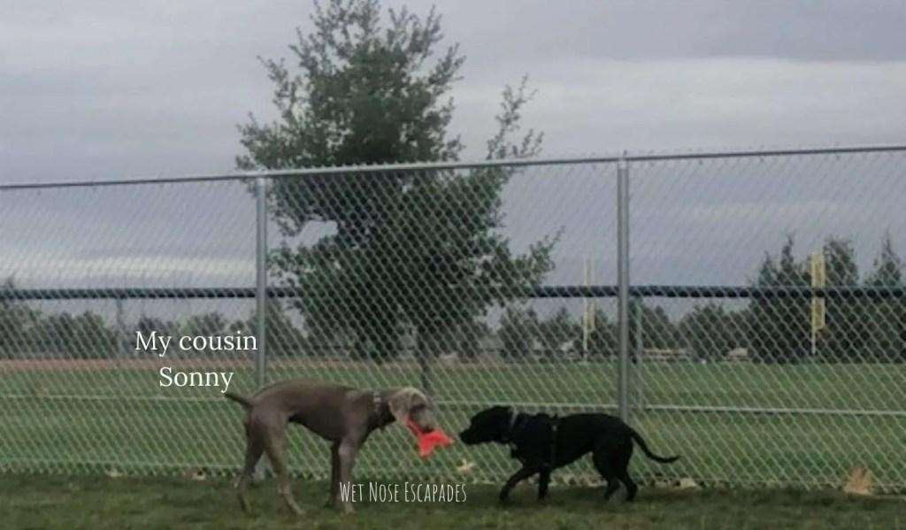 weimaraner dog playing at dog park in sacramento
