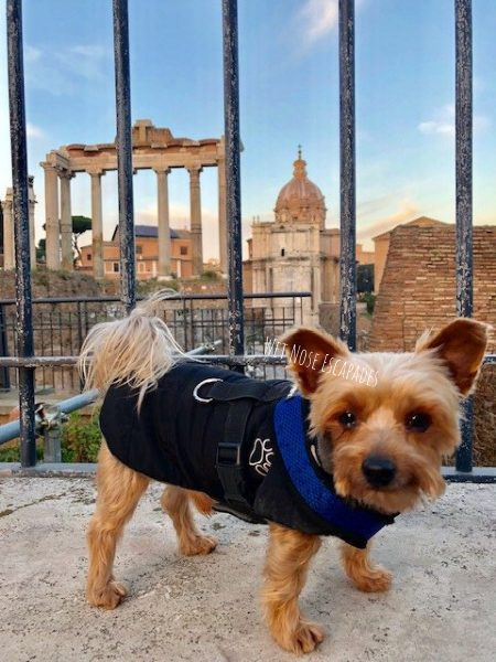 yorkie dog at the roman forum in rome