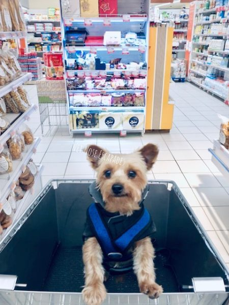 yorkie dog shopping for groceries in rome, italy