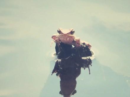 Glotzender Frosch