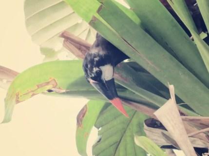 Kuckuck - Ein Montezuma Vogel