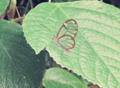 Schmetterling mit durchsichtigen Flügeln - Greta morgane