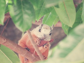 Costa-Rica-Eichhörnchen