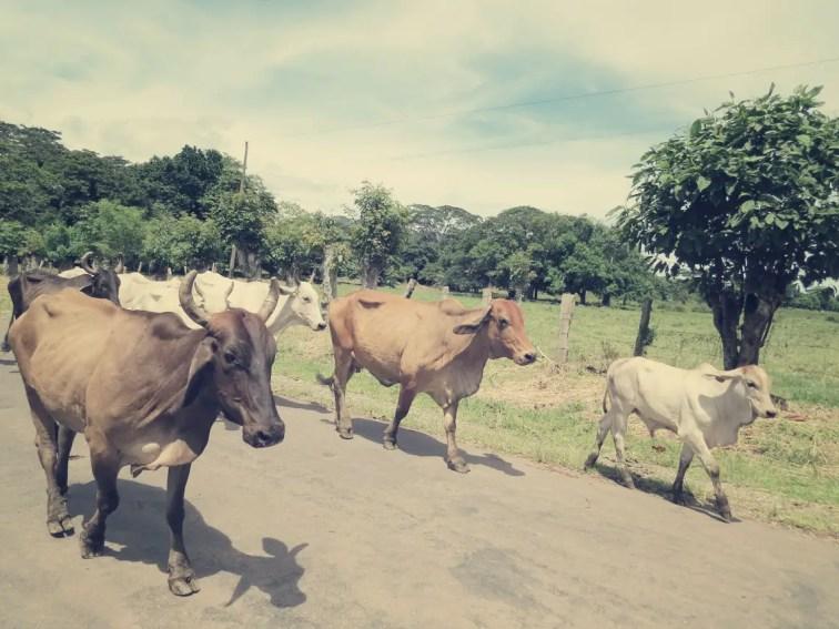 Auf der holprigen Reise nach Montezuma begleiteten uns auch mal Kühe