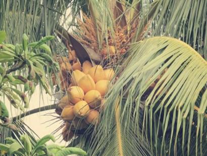 Coconuts im Garten