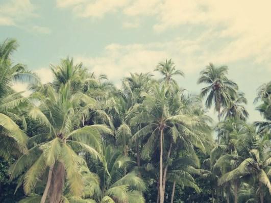 Palmenmeer auf der Isla Tortuga