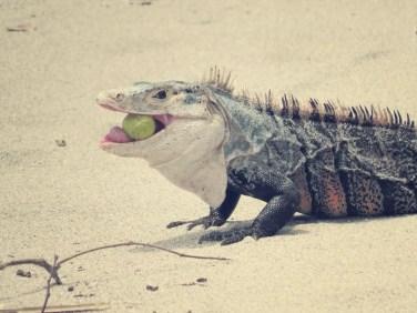 Schwarzleguan (Ctenosaura)