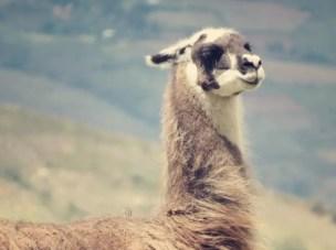 Das obligatorische Lama gehört in Peru einfach zu jedem Touri Ort dazu