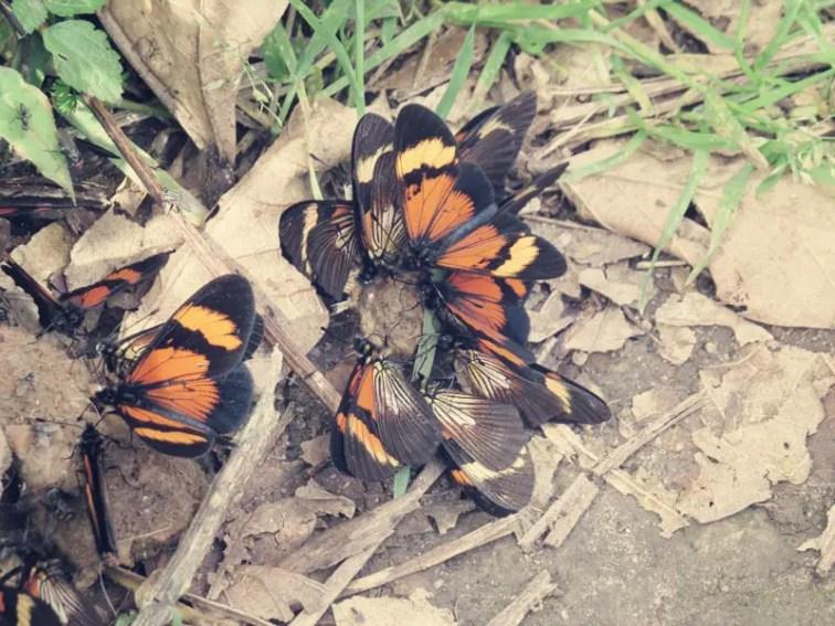 Wunderschön und ekelig, ...Schmetterlinge auf einem Scheißhaufen