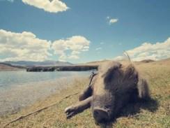 Ein blindes Schwein, ...es war völlig überrascht, als wir ihm einen Apfel gegeben haben. Aber es hat sich gefreut.