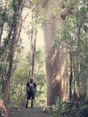 Martin vor einem riesigen Kauri