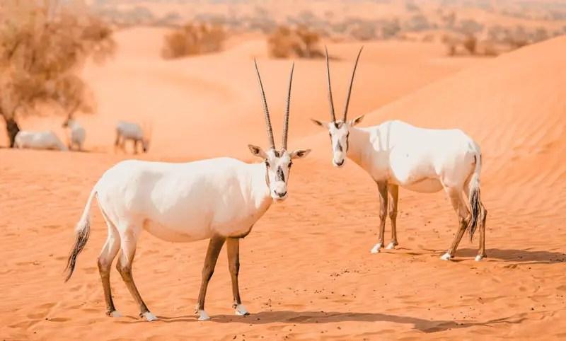 Dubai Aktivitäten Ausflüge desert