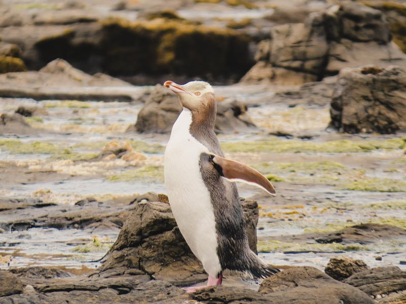 Neuseeland Südinsel Highlights Slope Point Gelbaugenpinguin