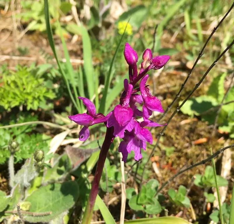 premiumwanderweg-p16_orchidee_IMG_5916