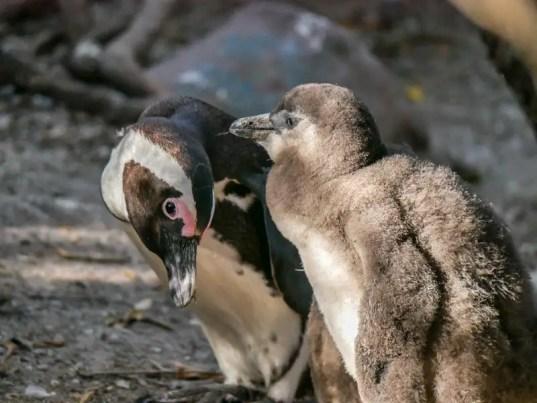 suedafrika_boulders-beach_pinguine_IMG_4330